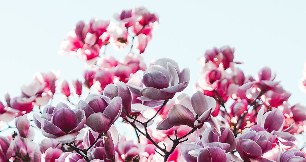 Auschnitt rosaweißer Magnolienblüten eines Baumes